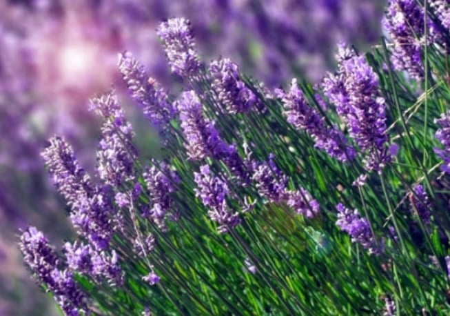 Essential Oils to Induce Labor-Lavender 5