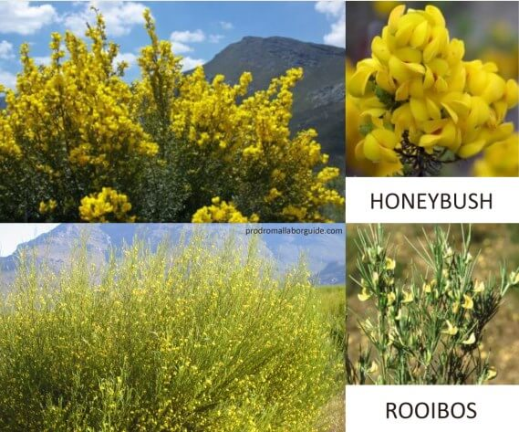 The Difference between Rooibos and Honeybush