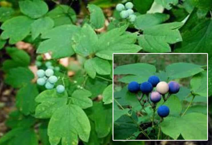 blue cohosh plant to induce labor